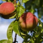 桃を常温で保存する場合、何度で、どのくらい日持ちするかについて