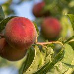 桃の実が大きくならない!実が落ちてしまう原因と対策方法は?