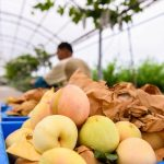 腐る状態の桃の見分け方について