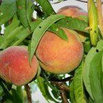 冷やす時間を設けることによって桃の甘みが出るの?