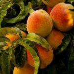 桃の葉が縮れて落ちる原因は縮葉病?その対処法とは?