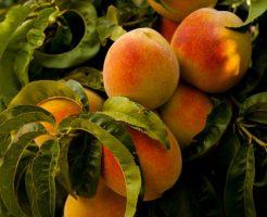 桃 葉 落ちる 縮れ 原因 対処法