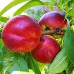 桃の品種と食べごろの時期について