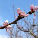 桃の花ことばと桃を送る意味