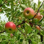 リンゴの種から発芽させる方法