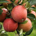 りんごに含まれる栄養の驚くべき効果・効能とは!?