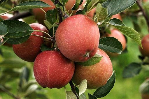 りんご 栄養 効果 効能