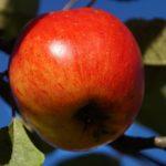 りんごの皮は消化に悪い!?栄養たっぷりの皮を美味しく食べよう。