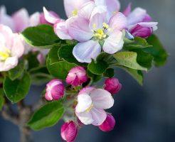 リンゴ すりおろす 茶色 対策