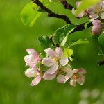 りんごの枝の名前を覚えて、剪定作業に役立てましょう!