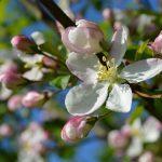 りんごの皮が苦いのはポリフェノールが原因!?その対策とは?