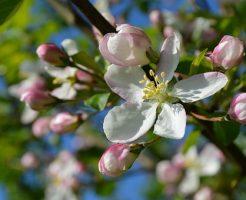 りんご 皮 苦い ポリフェノール 原因 対策