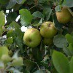 リンゴにかける袋の種類や、作り方について