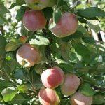 リンゴを鉢での育て方やサイズ