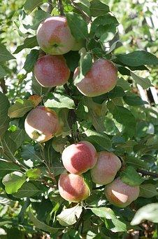 リンゴ 鉢 育て方 サイズ