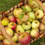 リンゴのすりおろし酵素について