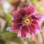 ピンク色のクリスマスローズは苗から育てるべき?手入れ方法とは?