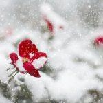 クリスマスローズ ニゲルの育て方や手入れ方法とは?